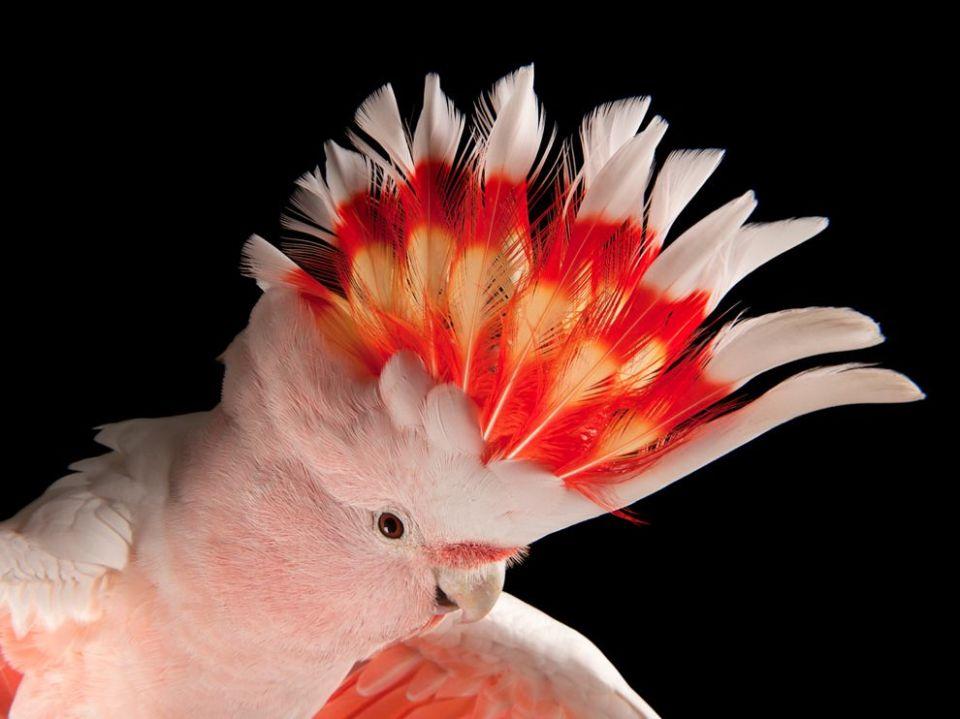 pink-cockatoo-china-sartore_72062_990x742